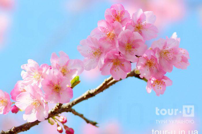 Цвітіння сакури в Ужгороді (сакура-фест 2020) та історичні пам'ятки Ужгорода